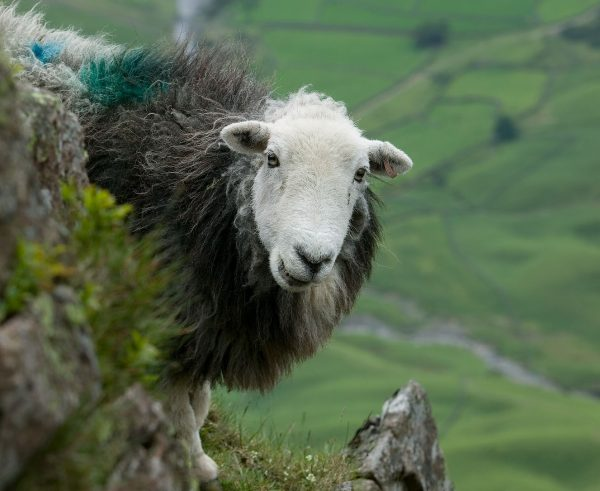 A giant Herdwick sheep looks quizzically at the camera