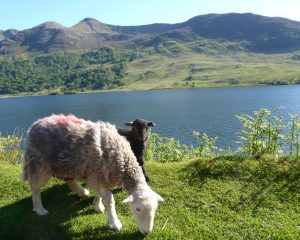 Herdwick ewe and lamb at Crummockwater