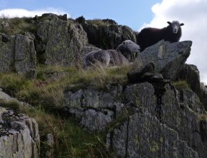 herdwick sheep perched on a craggy rock symbolise the durability of the Chimney Sheep