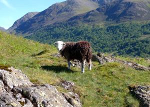 A Lake District Herdwick Sheep