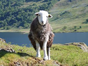A happy herdwick sheep looks directly into the camera infront of a pretty lake and fells.