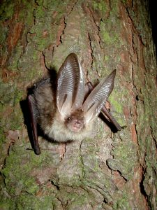 A brown long eared bat perched on the trunk of a tree looking directly at the camera