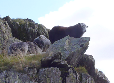 A young herdwick sheep and it's mother precariously perched on a mountain side.