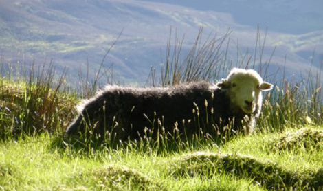 A Herdwick Sheep - the natural source of the felt for a Chimney Sheep - Cold draught stopper