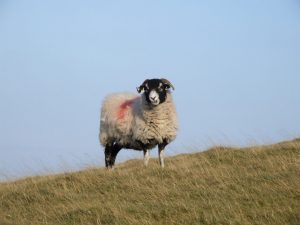 a Swaledale sheep glares menacingly at the viewer