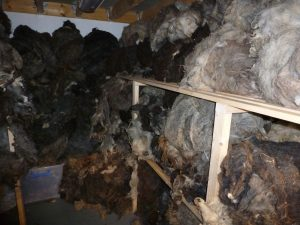 A cupboard with shelves full of unwashed wool