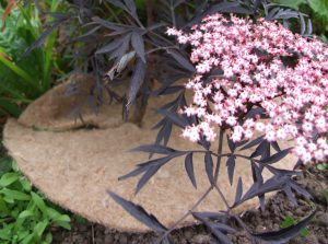 A 13 and a half inch jute mulch mat protects a young pink-flowering elderberry tree