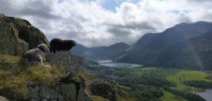 A mother Herdwick with large black lamb are perched on a narrow strip of grass on a rocky ledge overlooking the Lake Buttermere