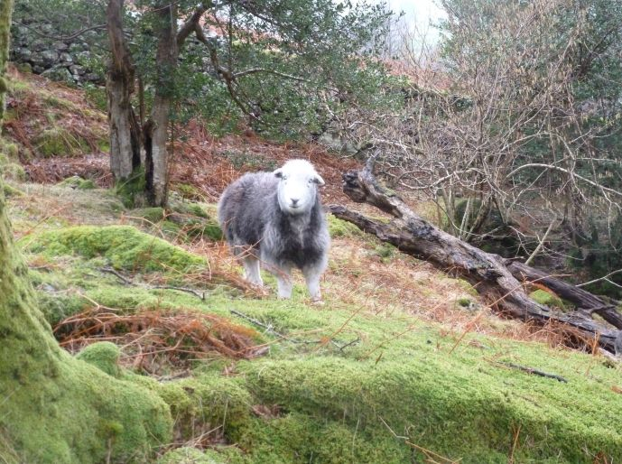 A handsome Herdwick sheep smiles at the camera while standing in mossy pasture with mature trees, young trees, and some dead wood