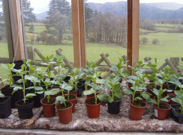 rows of small broad bean plants rest on a thick layer of all-natural wool felt which acts as capilliary matting. It absorbs water and allows this to be taken up by the plants as they need it.