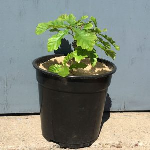 "Young oak tree in pot covered with Chimney Sheep 8"" treee spat mulch mat"