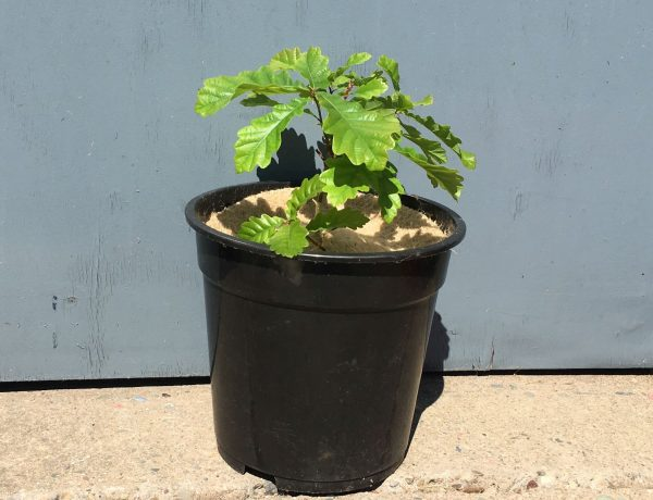 """Young oak tree in pot covered with Chimney Sheep 8"""" treee spat mulch mat"""