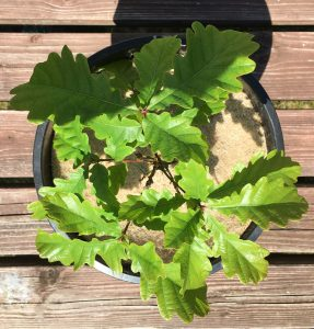 oak tree protected by 20cm natural jute mulch mat