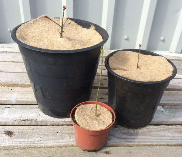 "three young trees in pots protected by Chimney Sheep 8"" mulch mats"