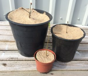 three plant pots with tree saplings containing three different sizes of jute mulch mats. The largest mulch mat is ten inches, the middle is eight inches with the smallest being four inches.