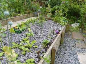 Felt shillies in the raised bed protect young plants, while below on the ground there are similar looking slate shillies