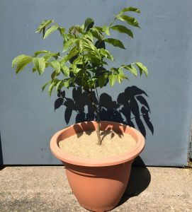 walnut tree ptoected by 25cm jute mulch mat