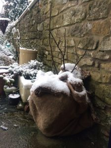 fig tree in pot entirely wrapped in felted sheep wool with dusting of snow on it