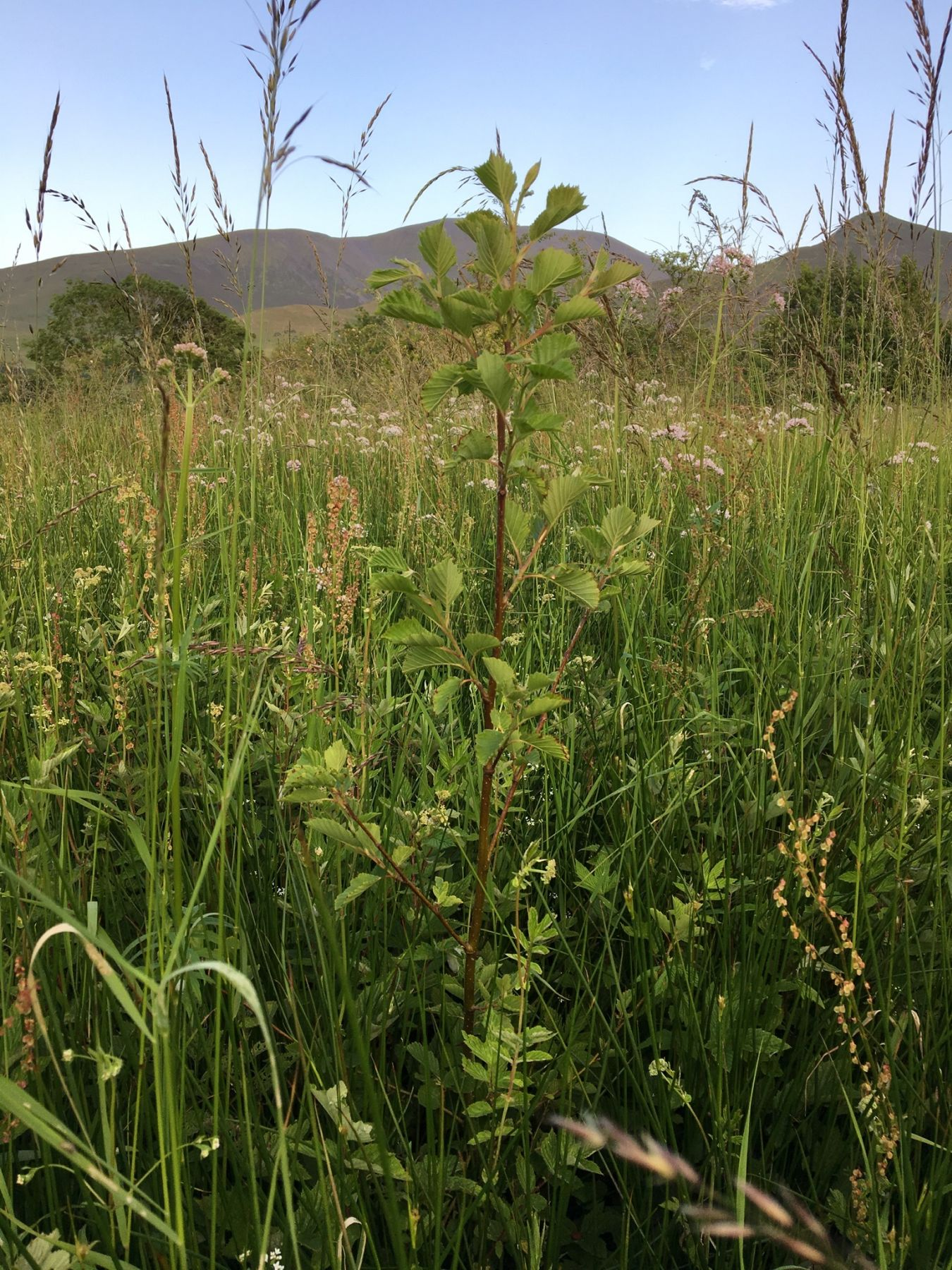 young alder tre in lush meadow with lake distric mountatains in background