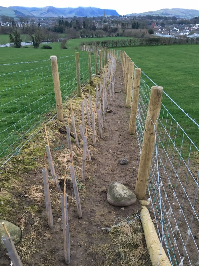 hedge planted using herbicides and tree guards