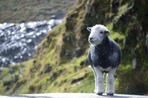 Pensive Herdwick Sheep by Crummock Water