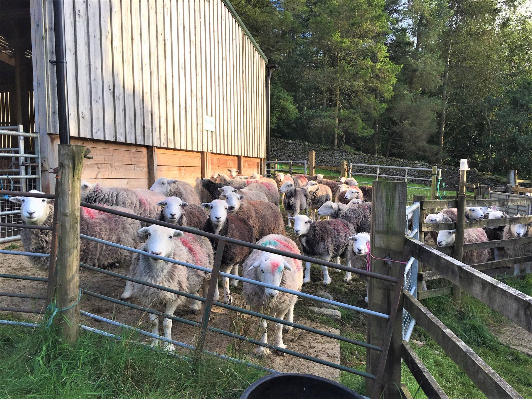 Herdwick sheep in pen in evening sunlight waiting for their turn to be shorn