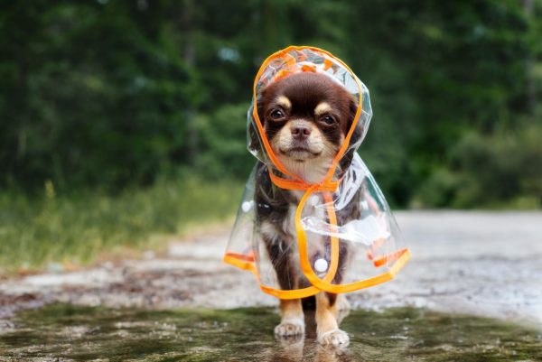 small dog in a mac in the rain