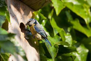 Blue tit poking food into nest box