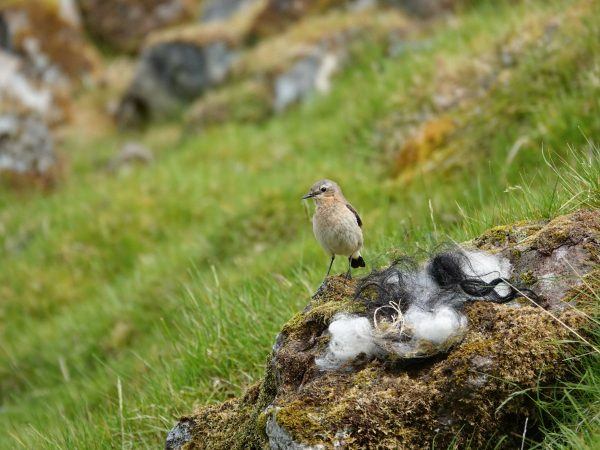 bird gathering wool for its nest