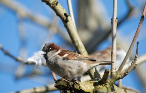sparrow with wool to line its nest