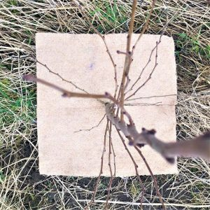 40cm square mulch mat made of 5mm thick jute around base of elm sapling