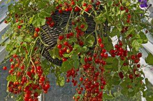 hanging basket full of lush tomatoes