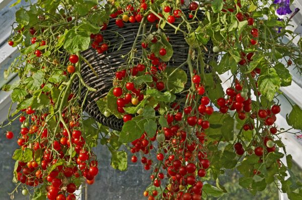 hanging basket full of lush tomatoes