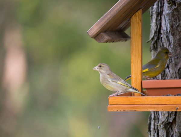 male and female greenfinches on bird table